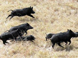Feral pigs in Gympie region in 'plague proportions'